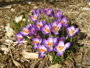 crocuses flowers