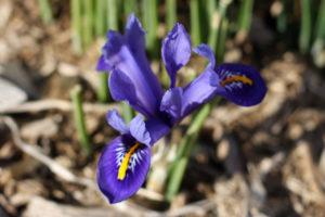 mini blue iris