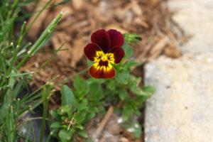 A viola plant