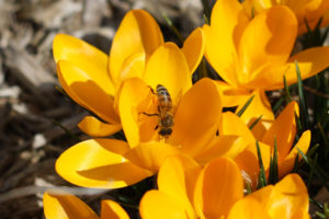 Yellow crocus and bees