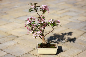 Crab Apple Bonsai