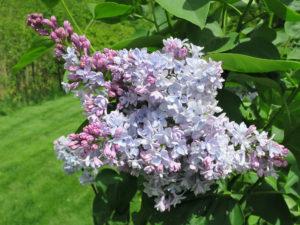 Violet Glory