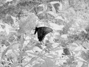 Dark Swallowtail Butterfly