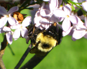 Bumble Bee on a Lilac