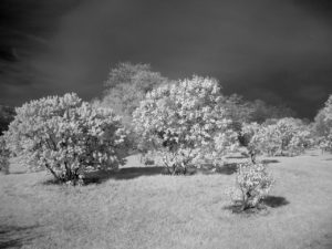 Lilacs in Infrared