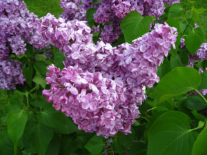 Lilacs in Highland Park